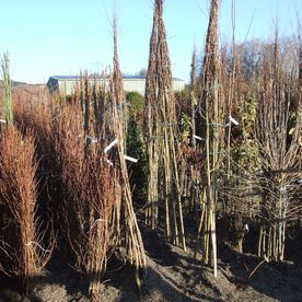 Tree Selection from field nursery